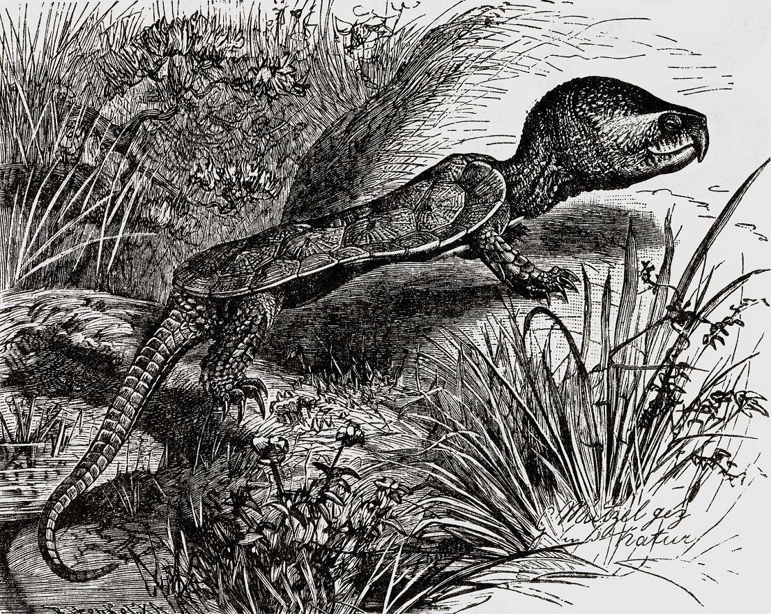 Большеголовая черепаха (Platysternon megacephalum)