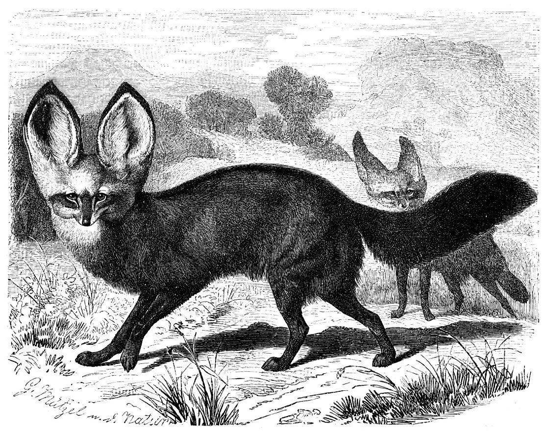Большеухая лисица (Otocyon megalotis)