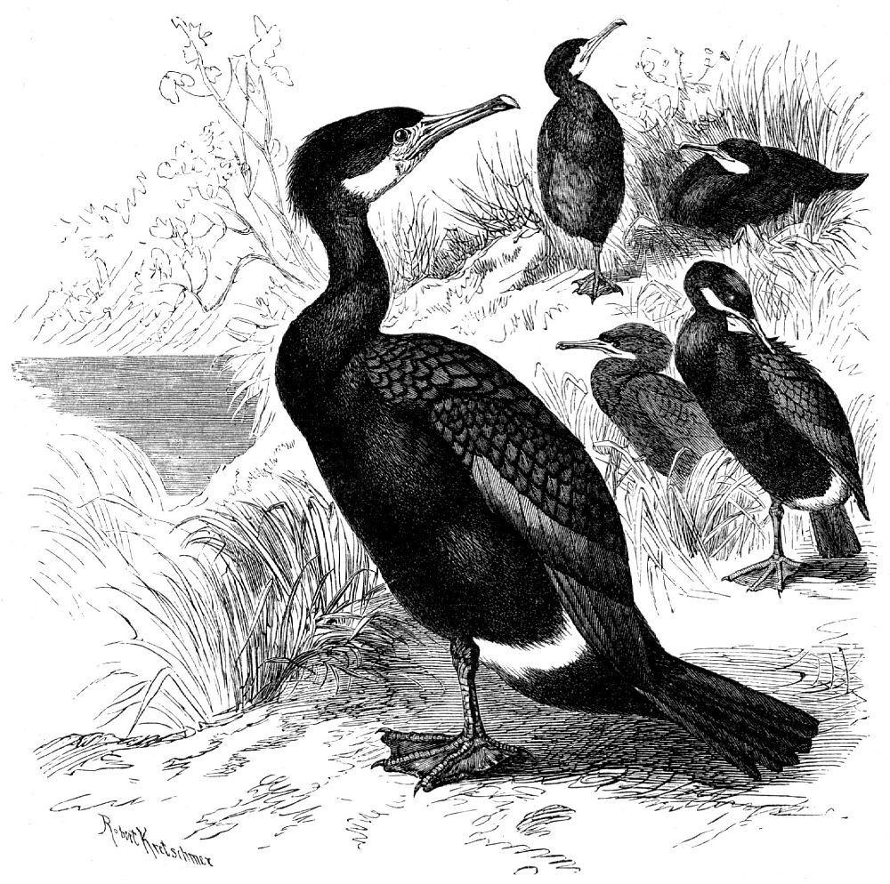 Большой баклан (Phalacrocorax carbo)