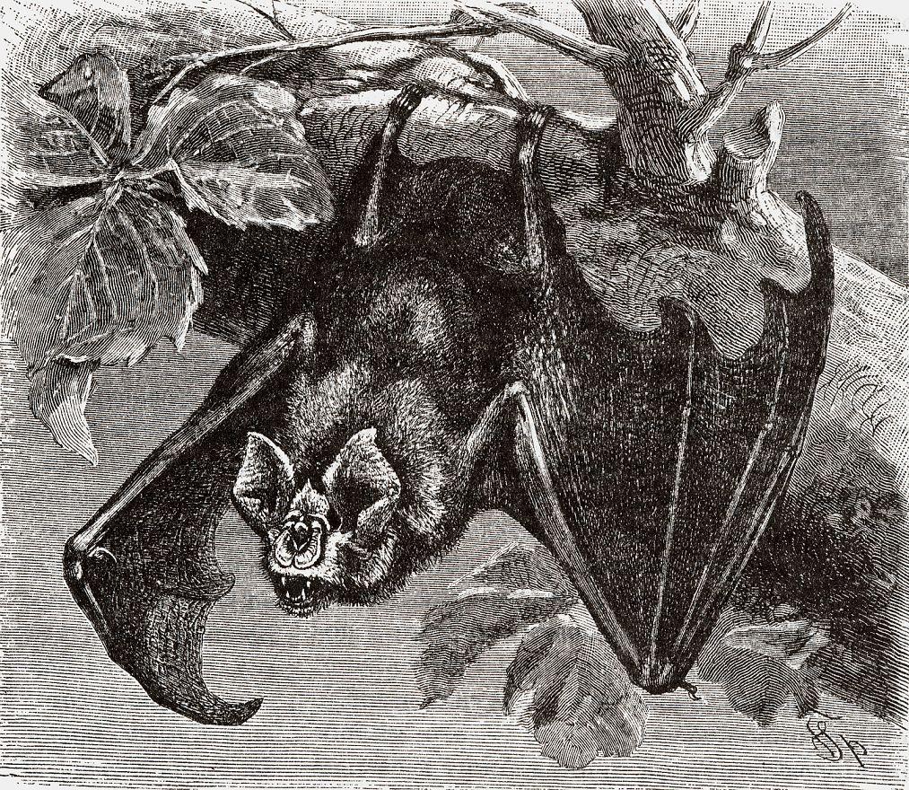 Большой подковонос (Rhinoloplms femimequinum)