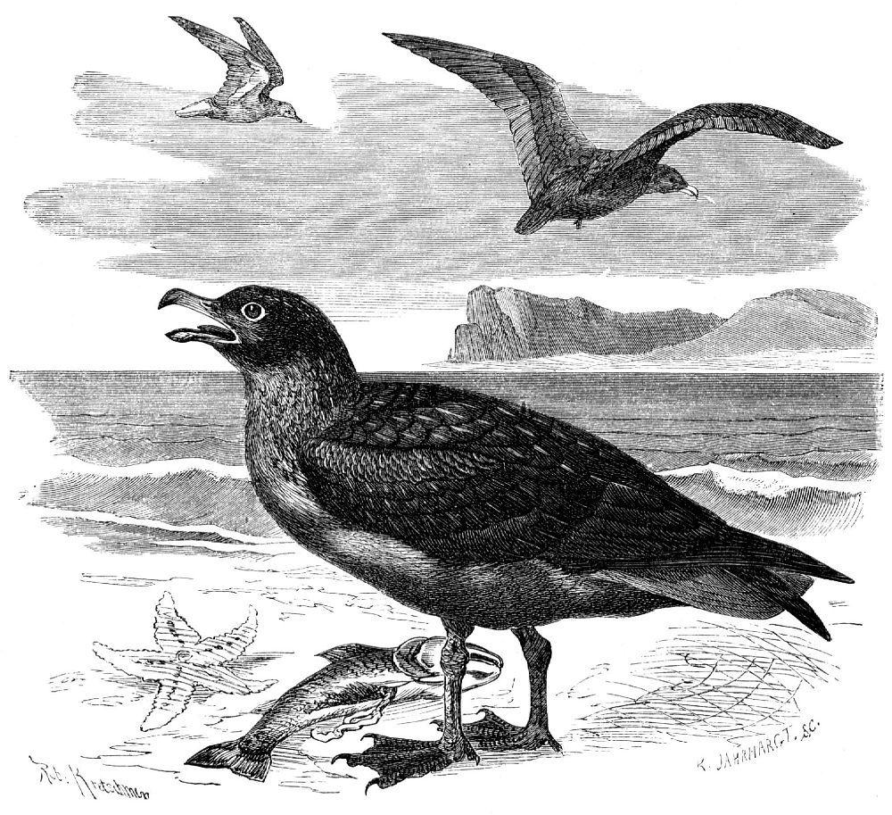 Большой поморник (Stercorarius skua)