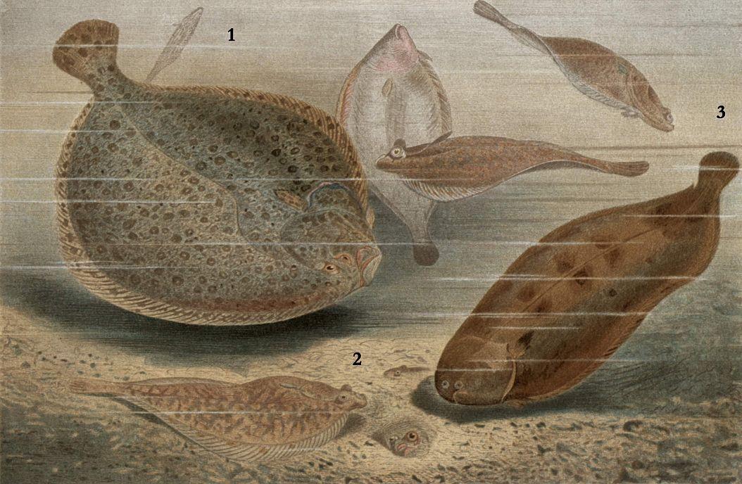 1 - Большой ромб, или тюрбо (Рsetta maxima) 2 — Морская камбала (Pleuronectes platessa) 3 — Европейский морской язык (Solea vulgaris)