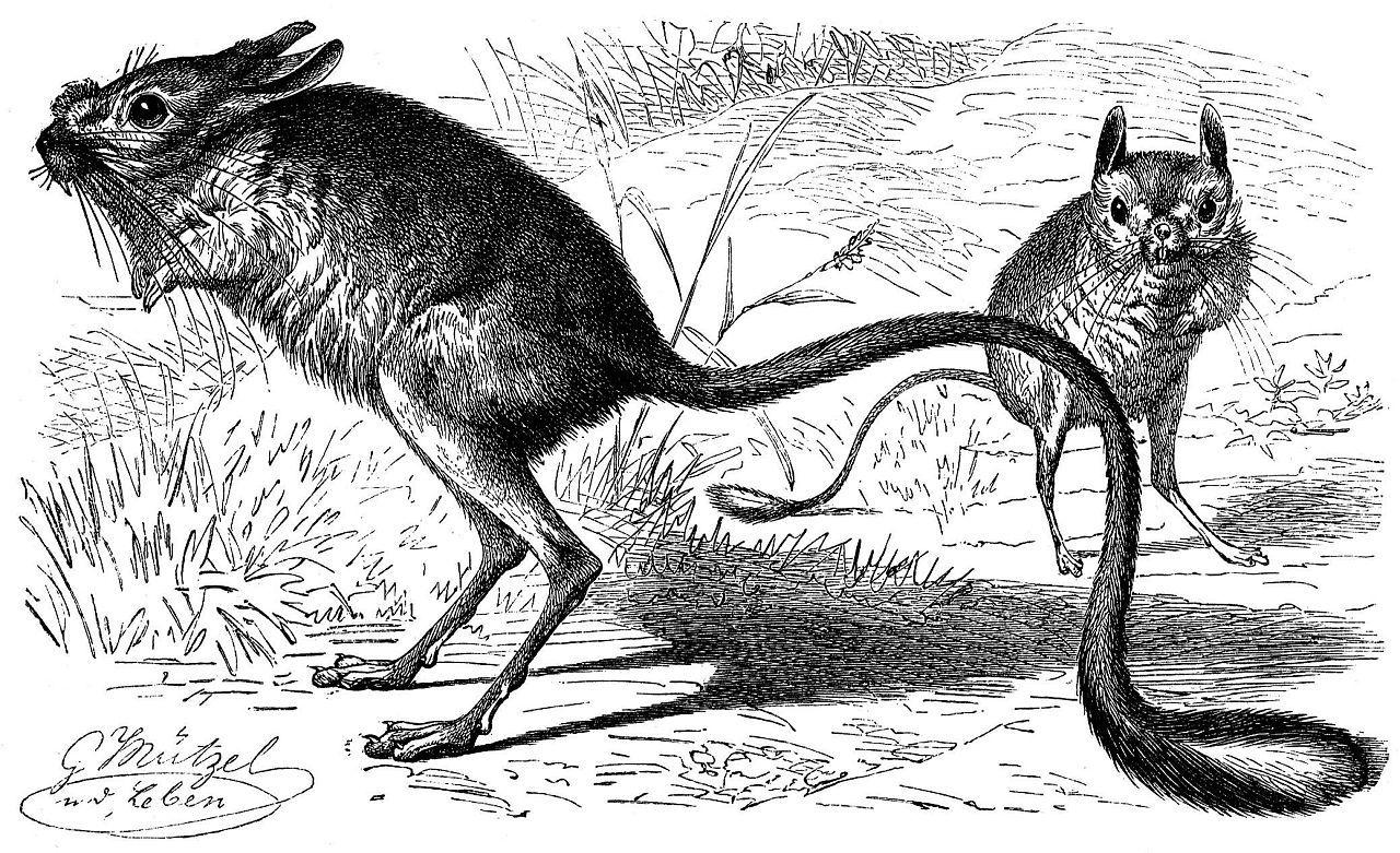 Большой тушканчик, или земляной заяц (Allactaga major)