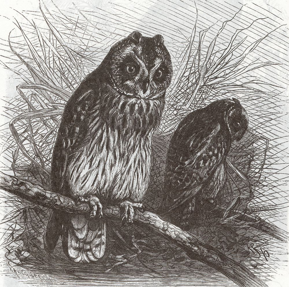Болотная сова (Asia flammeus)