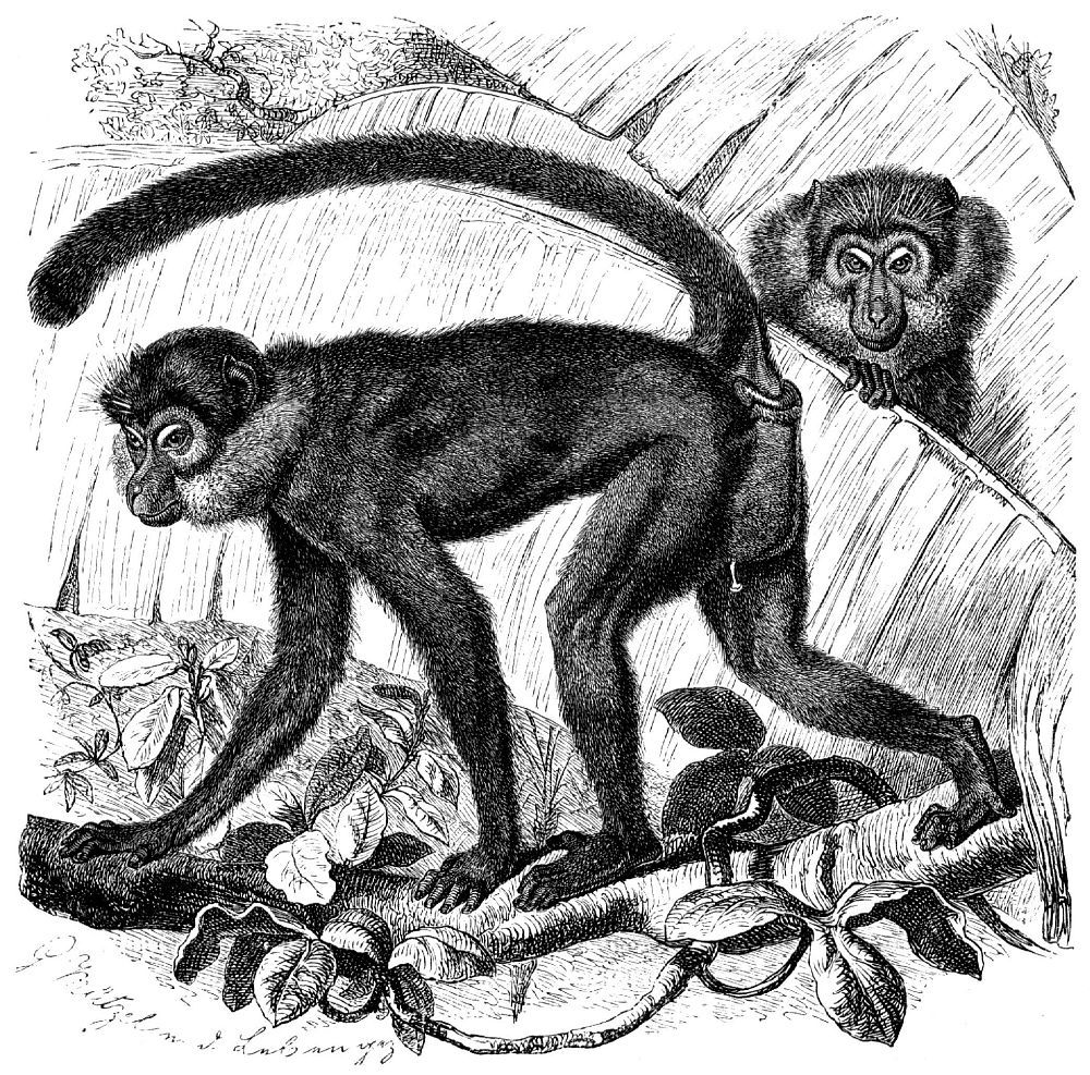 Бородатый (черный) мангабей (Cercocebus aterrimus)