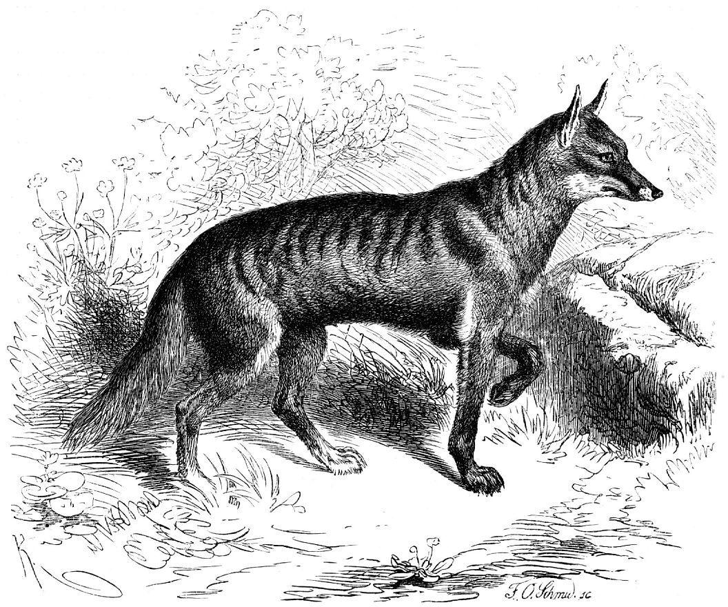 Бразильская лисица (Dusicyon vetuius)