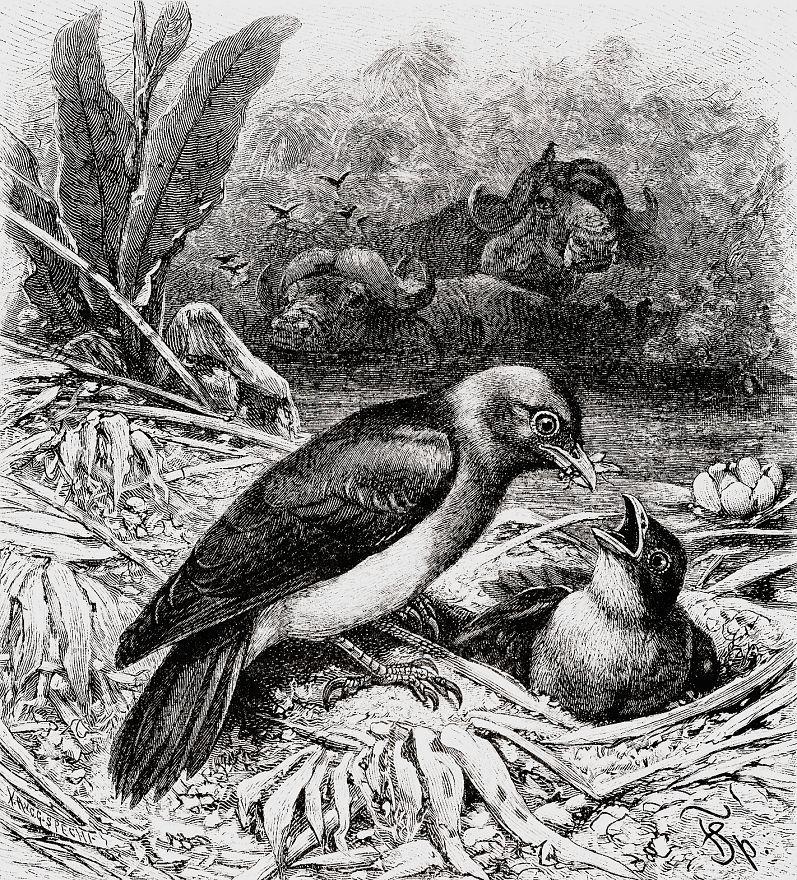 Буйволовый скворец (Buphagus erythrorhynchus)
