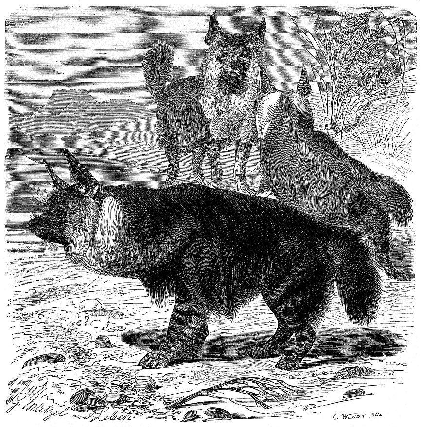 Бурая гиена (Hyaena brunnea)
