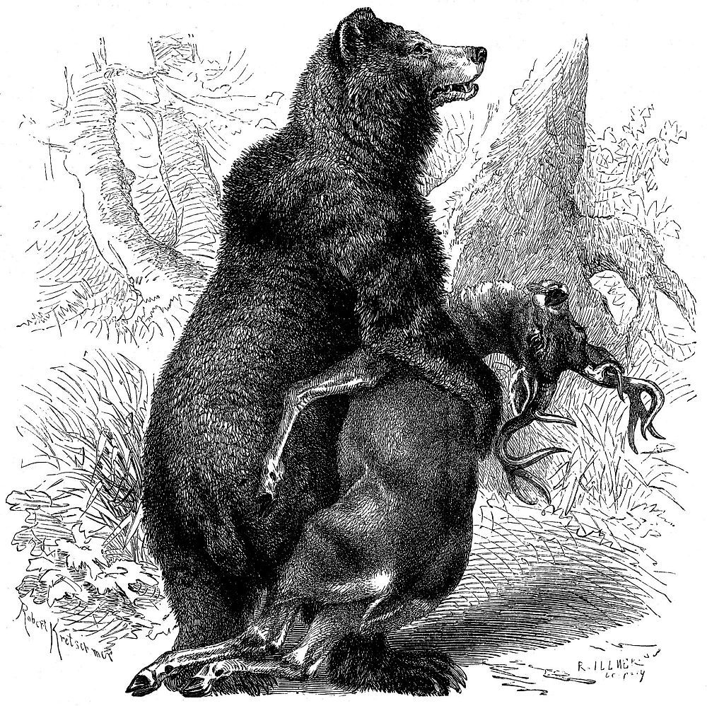 Бурый медведь (гризли) (Ursus arctos)