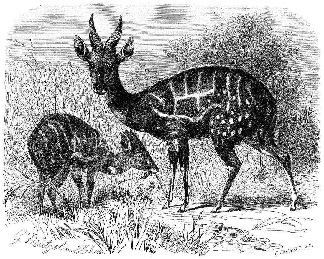 Бушбок (Tragelaphus scriptas)
