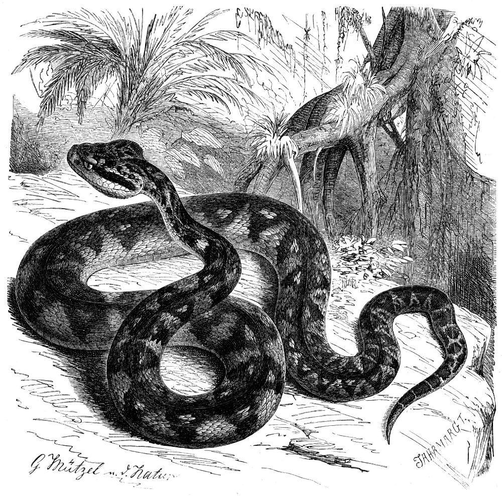 Бушмейстер, или сурукуку (Lachesis muta)