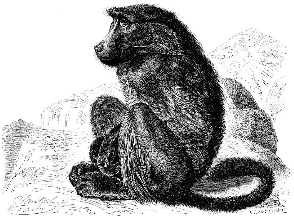 Чакма, или медвежий павиан (Papio ursinus)