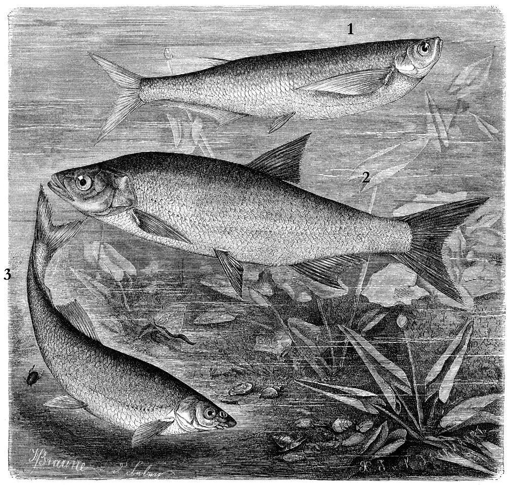 1 — Чехонь, или сабля-рыба (Pelecus cultratus)2 - Обыкновенный жерех(Aspius aspius)3 - Обыкновенный подуст (Chondrostoma nasus)