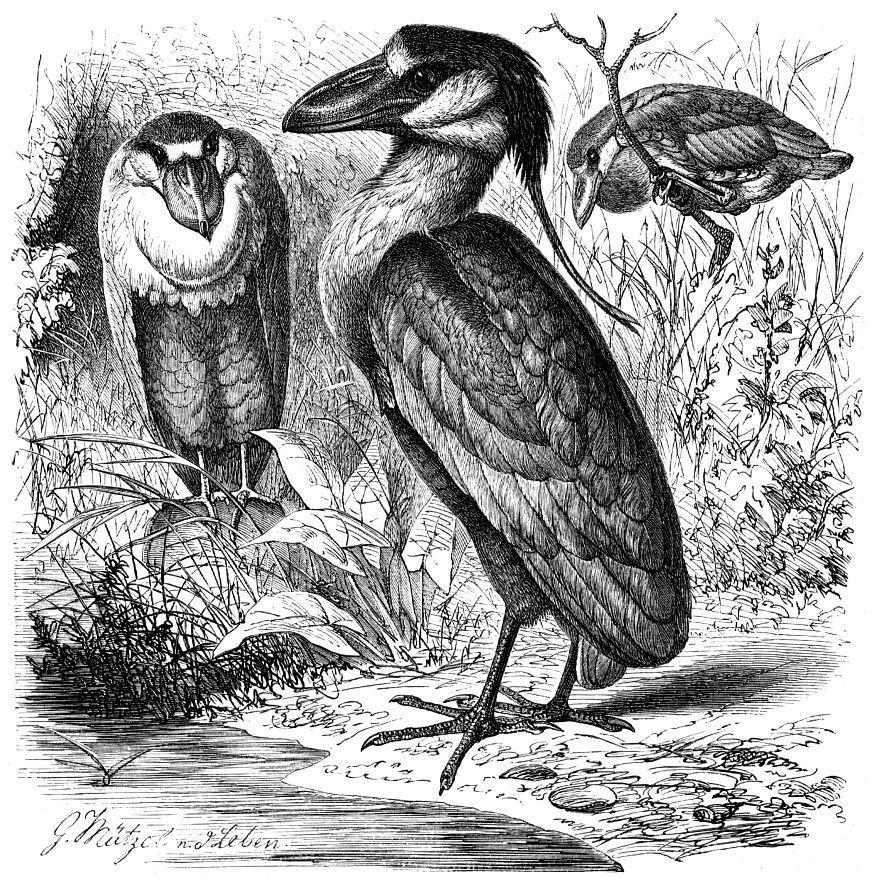 Челноклюв (Cochleartus eochlearius)