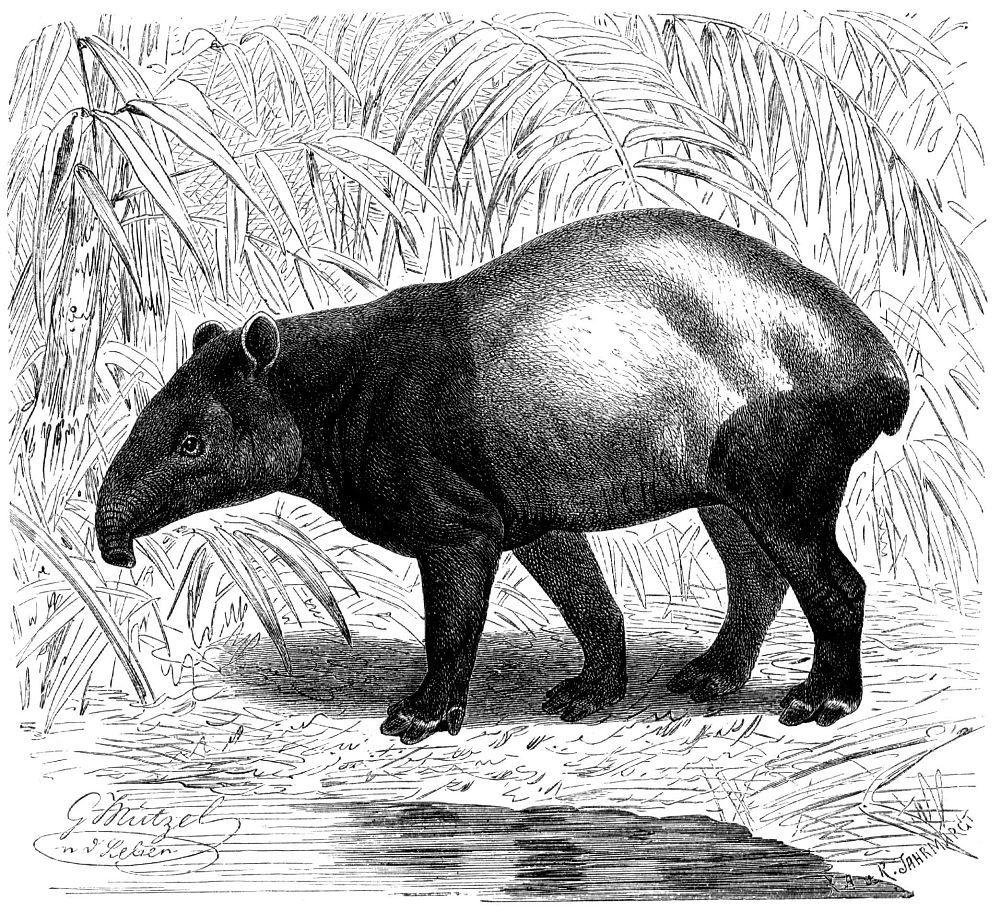 Чепрачный тапир (Tapirus indicus)