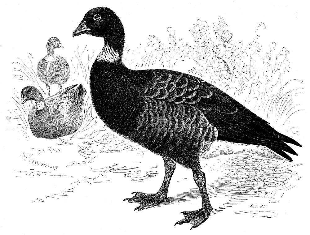 Черная казарка (Branta bemicla)