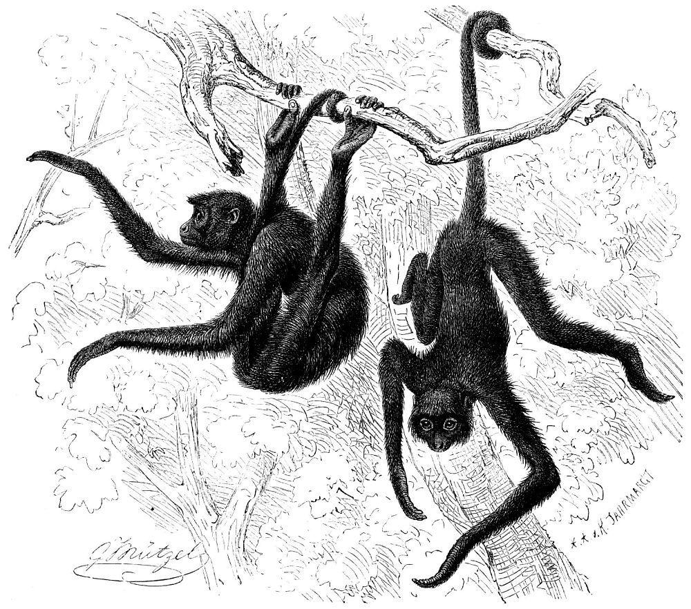 Черная коата (Ateles paniscus)
