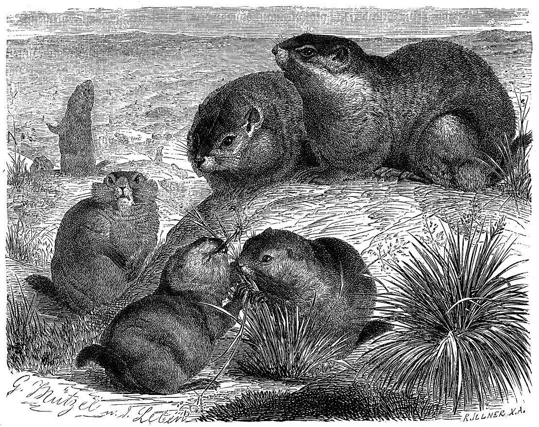 Чернохвостая луговая собачка (Cynomys ludovicianus)