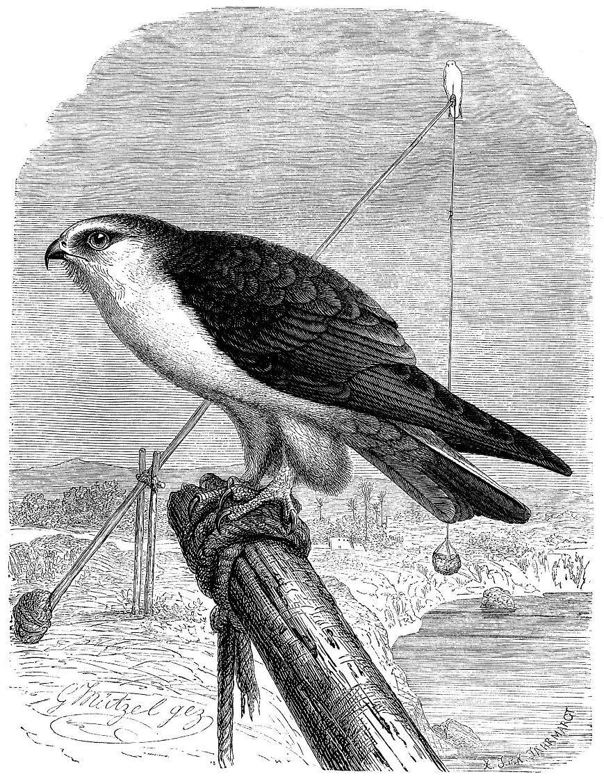 Чернокрылый дымчатый коршун (Elanus caeruleus)