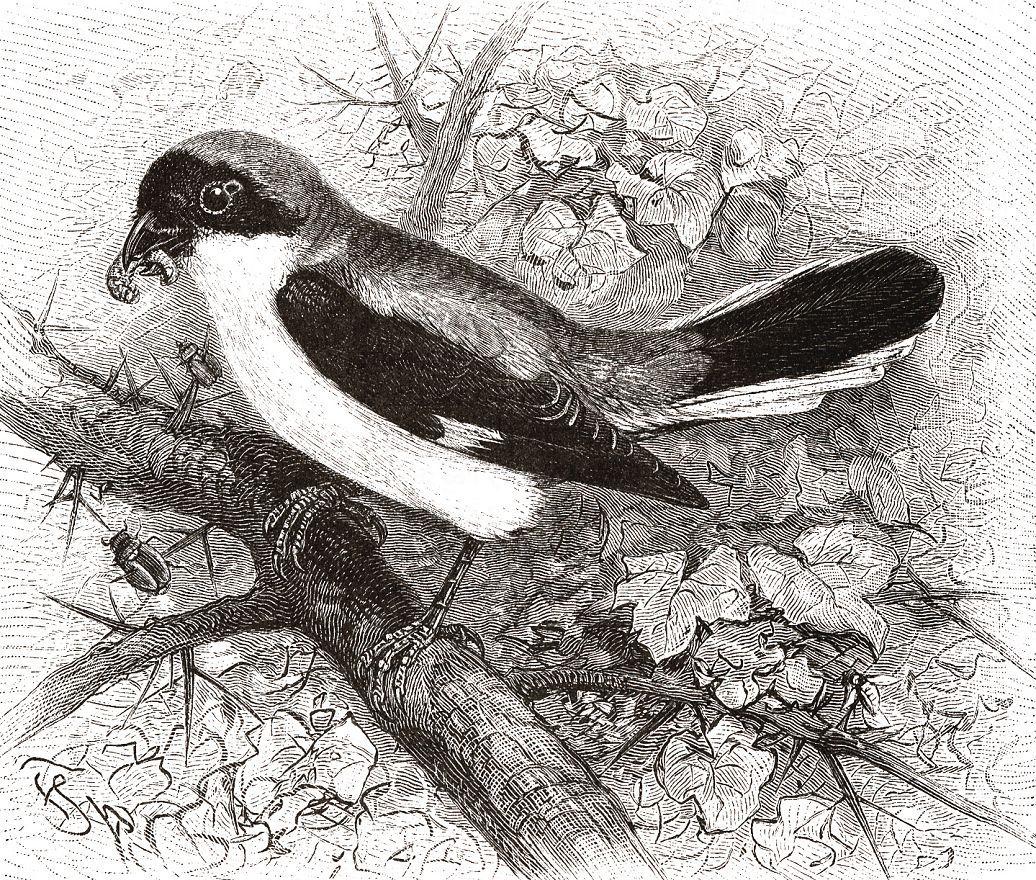 Чернолобый сорокопут (Lanius minor)