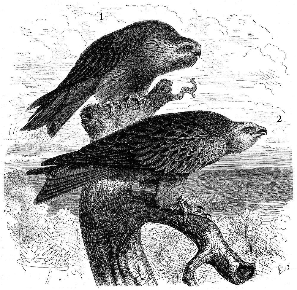 1 - Черный коршун (Milvus migrans) 2 - Красный коршун (Milvus milvus)