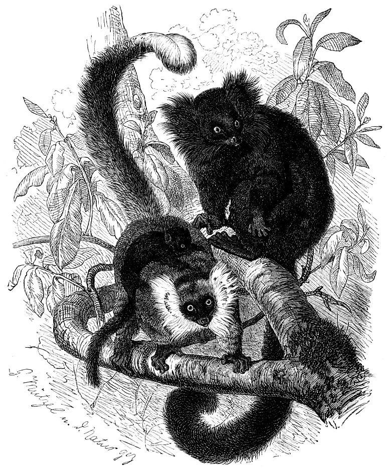 Черный лемур (Lemur macaco)