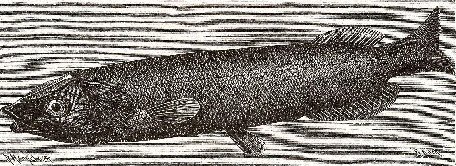 Черный плешан, или гладкоголов (Alepocephalus niger)
