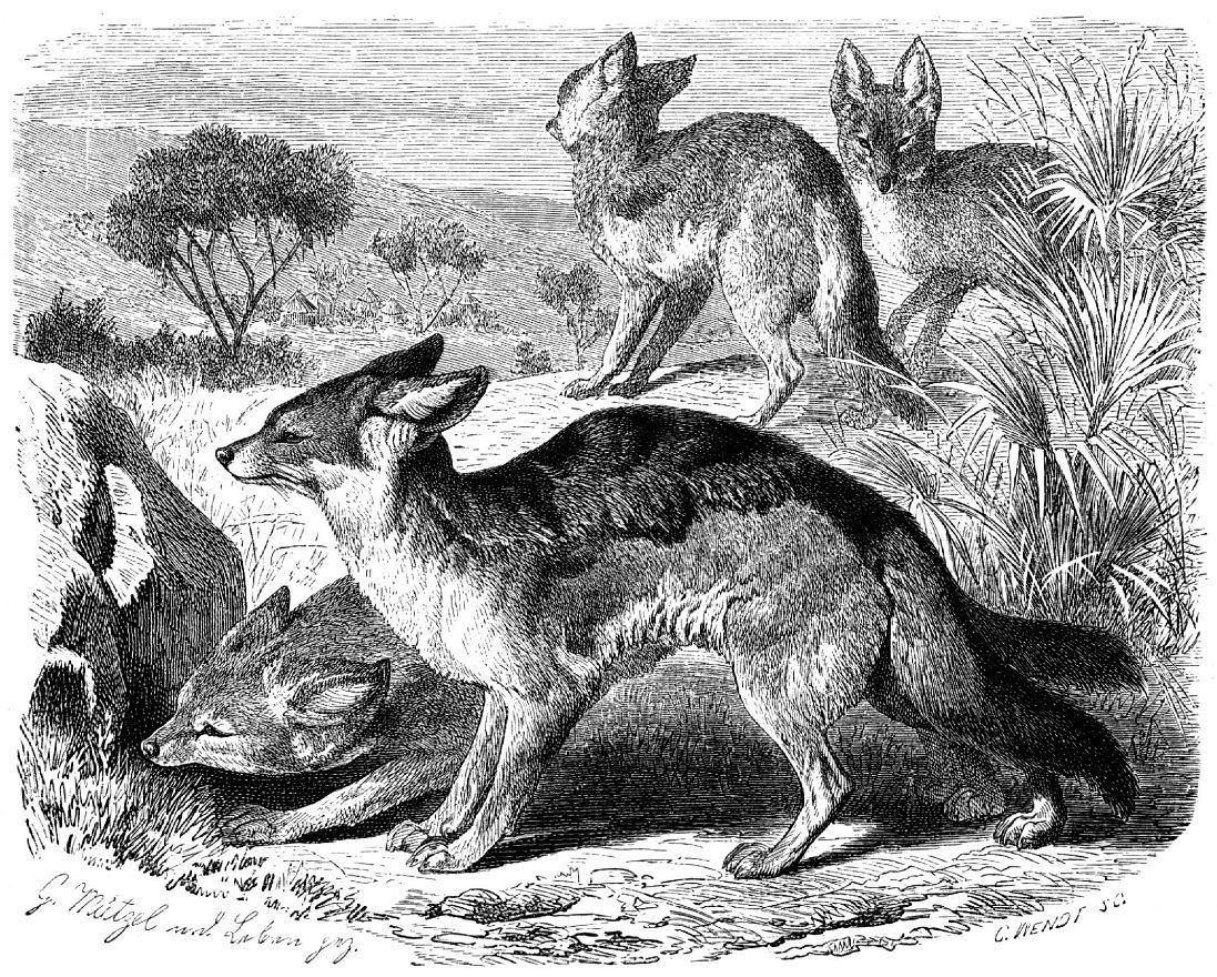 Черпачный шакал (Canis mesomelas)