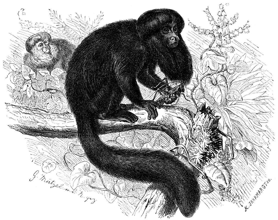 Чертов (черный) саки (Chiropotes satanus)