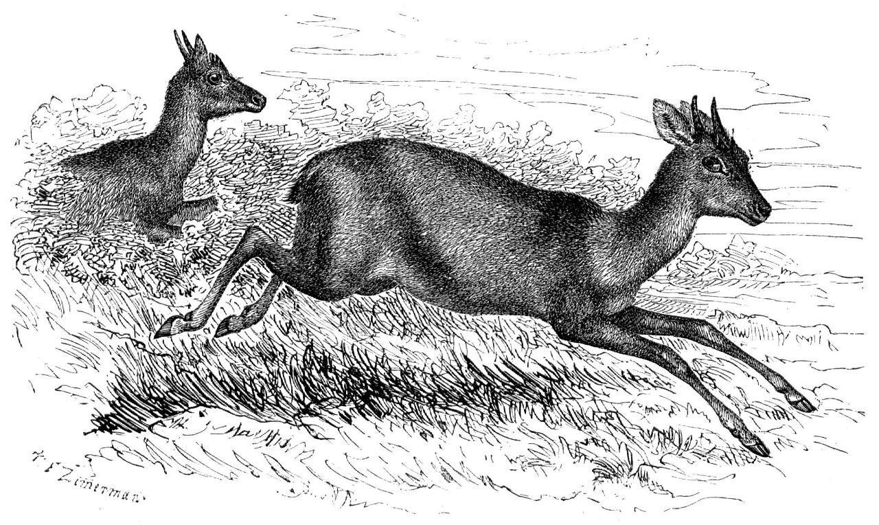 Четырехрогая антилопа (Tetracerus quaclricornis)