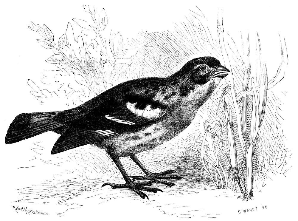 Чилийский траворез (Ptytotoma rаrа)