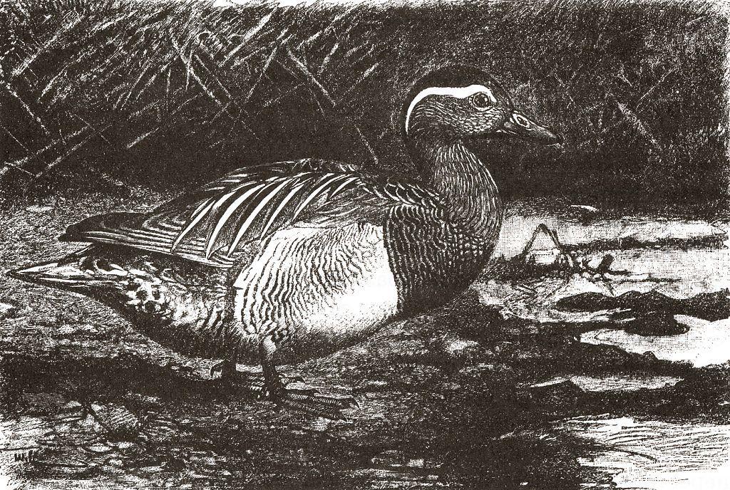 Чирок-трескунок (Anas querquedula)
