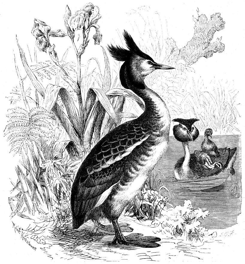 Чомга (Podiceps cristatus)