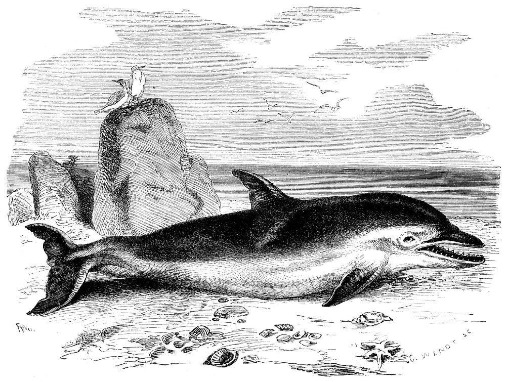 Дельфин-белобочка (Delph'mus delphis)
