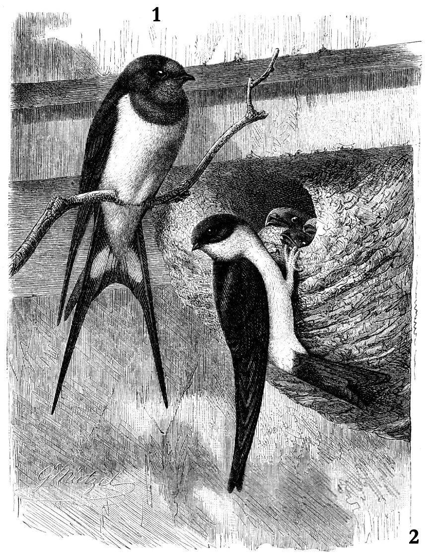 1 - Деревенская ласточка (Hinmdo rusttea), 2 - Воронок (Delichon iirbica)