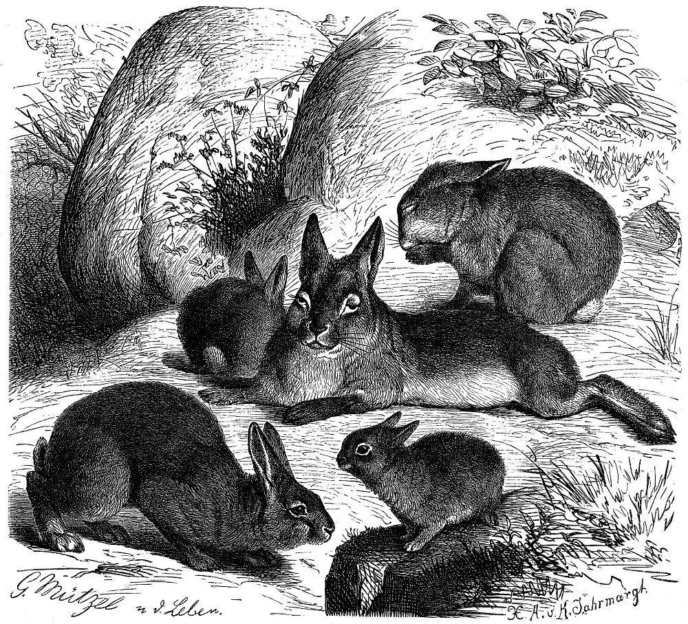 Дикий европейский кролик (Oryctolagus cuniculus)