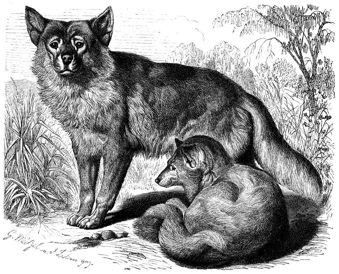Динго (canis familiaris)