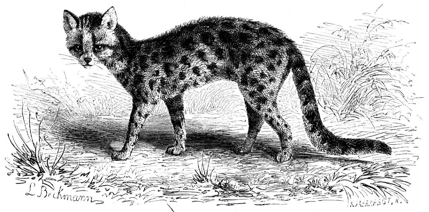 Длиннохвостая кошка (Leopardus wiedii)