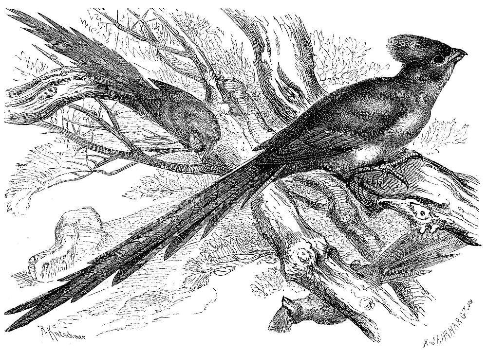 Длиннохвостая птица-мышь
