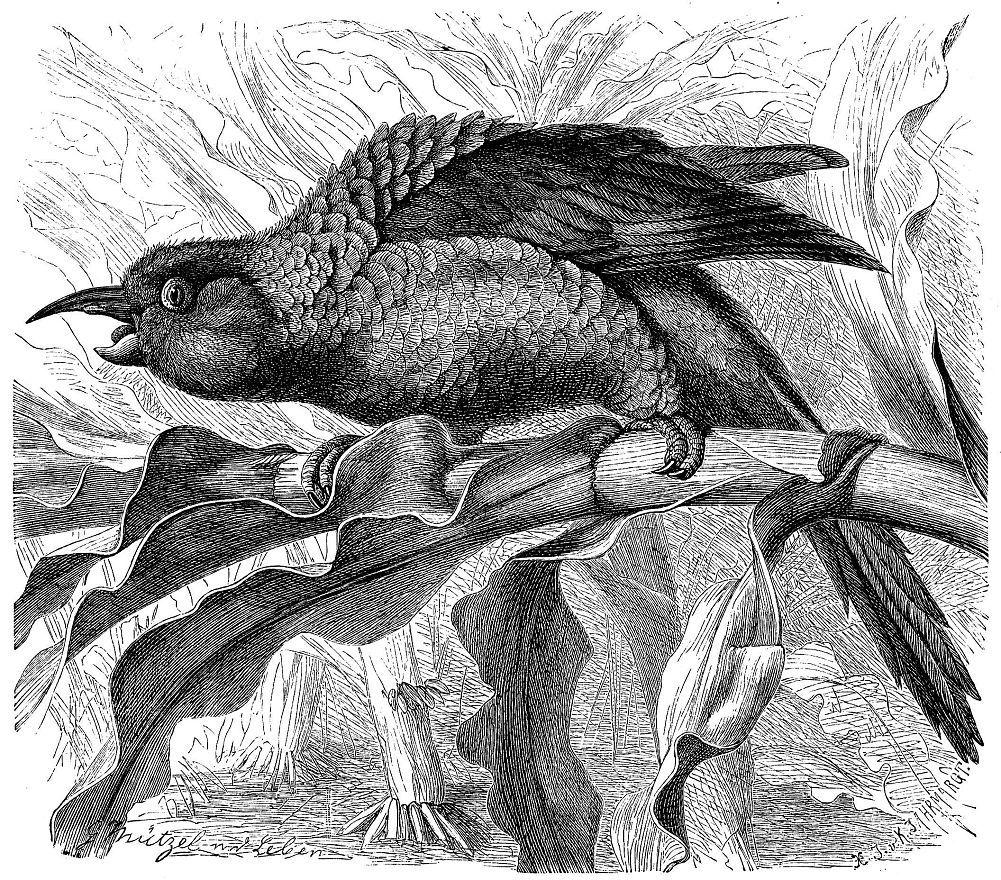 Длинноклювый попугай (Enicognathus leptorhynchus)