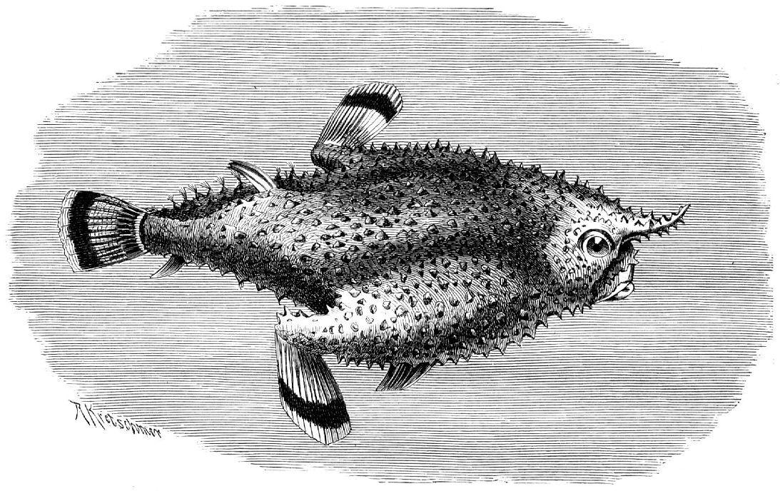 Длиннорылый морской нетопырь (Ogcocephalus vespertilio)
