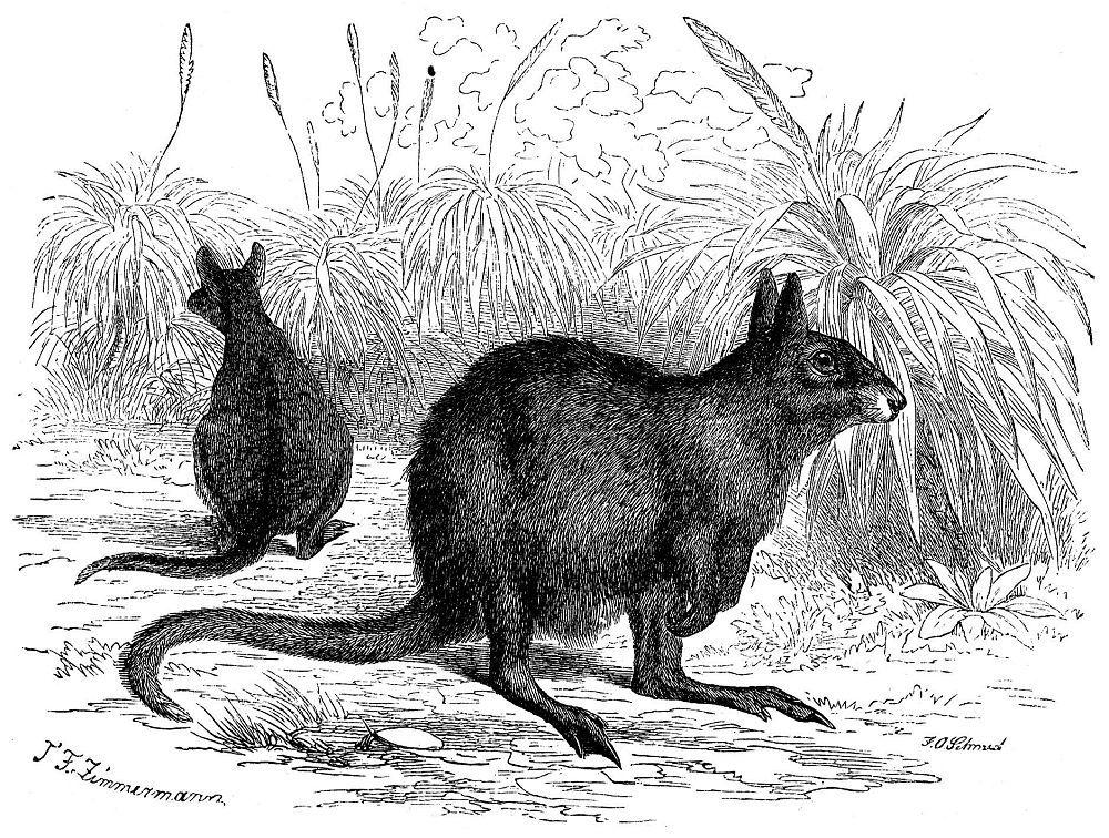 Длинноухий заячий кенгуру (Lagorchestes leporides)