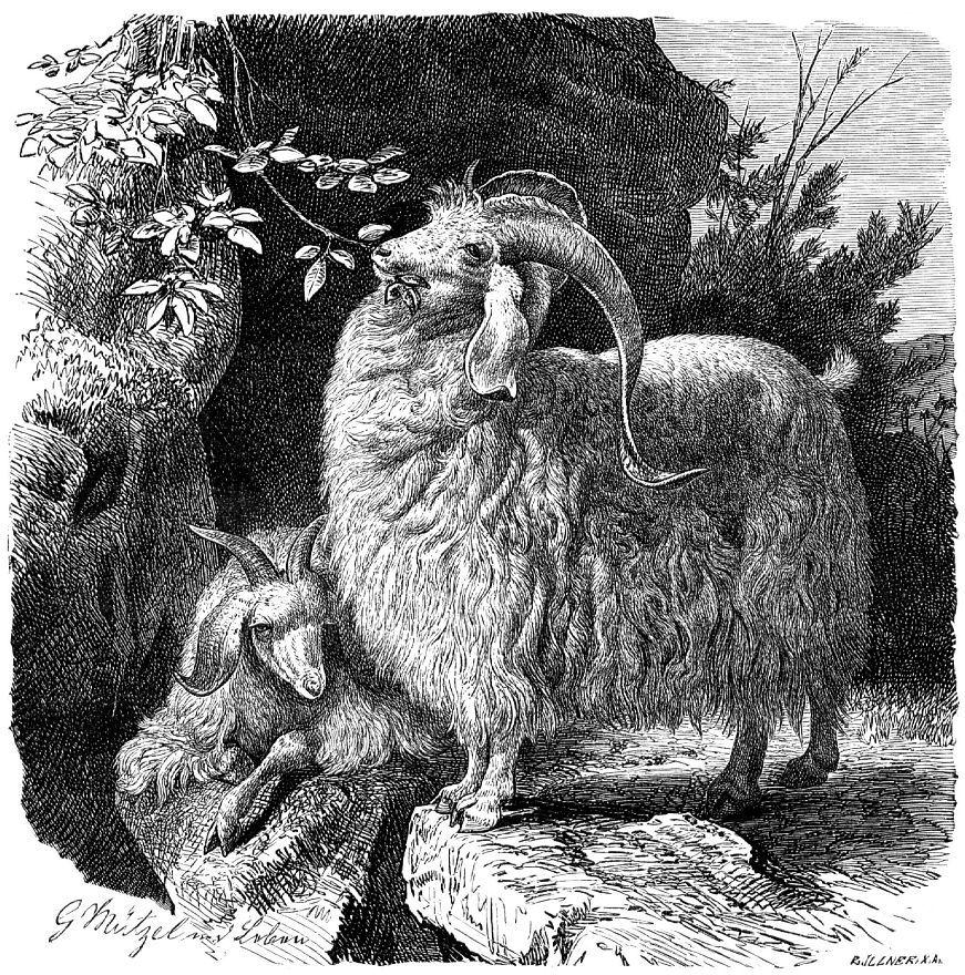 Домашний козел (Copra hircus)