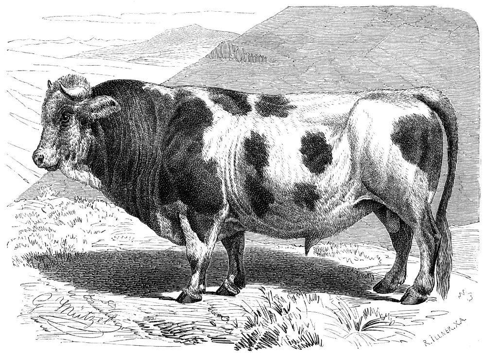Домашний скот (Bos taunts)