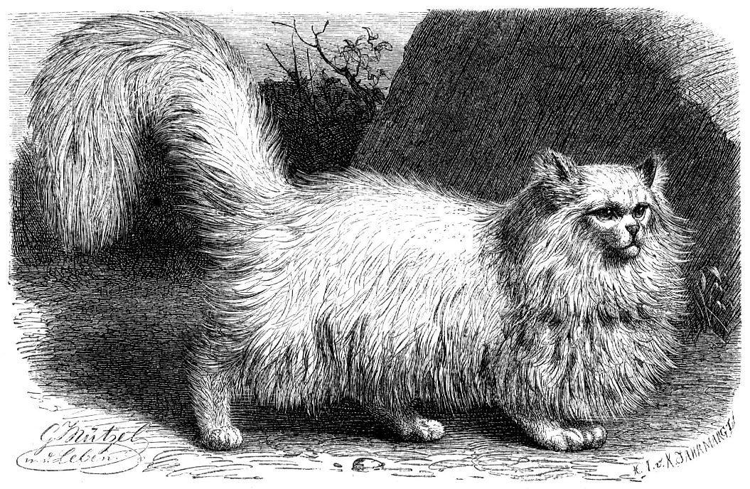 Домашняя кошка (Felis сatus)