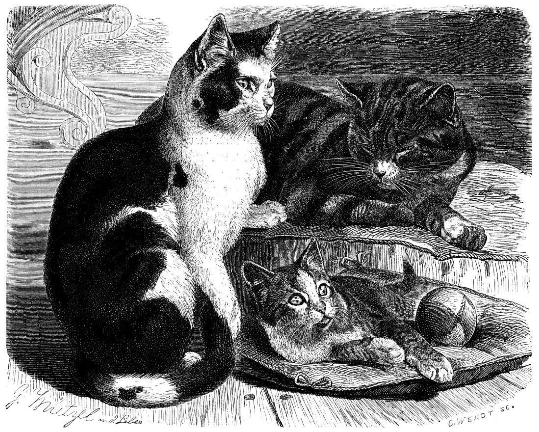 Домашняя кошка (Felis catus)