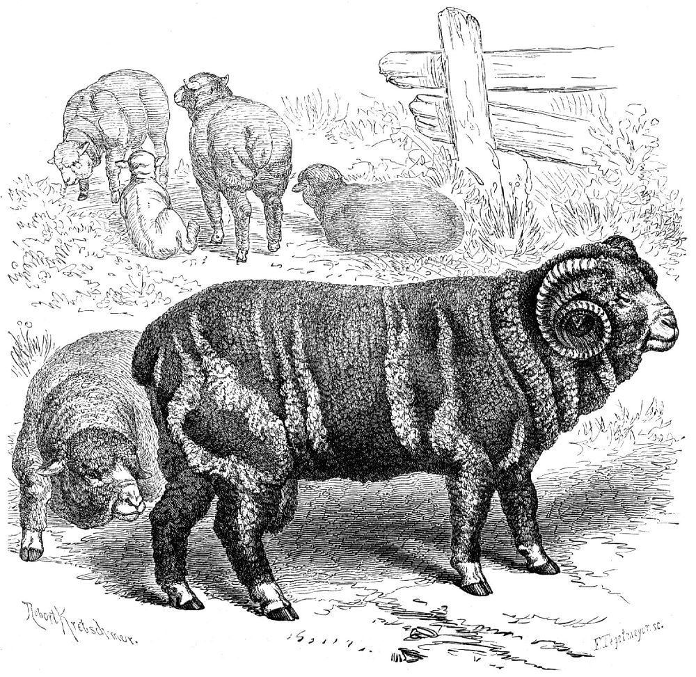Домашняя овца (Ovis aries)