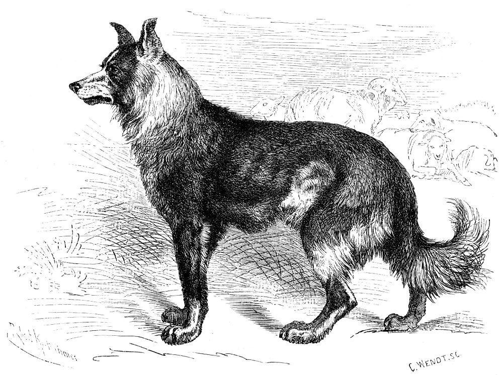 Домашняя собака (Canis familiaris)