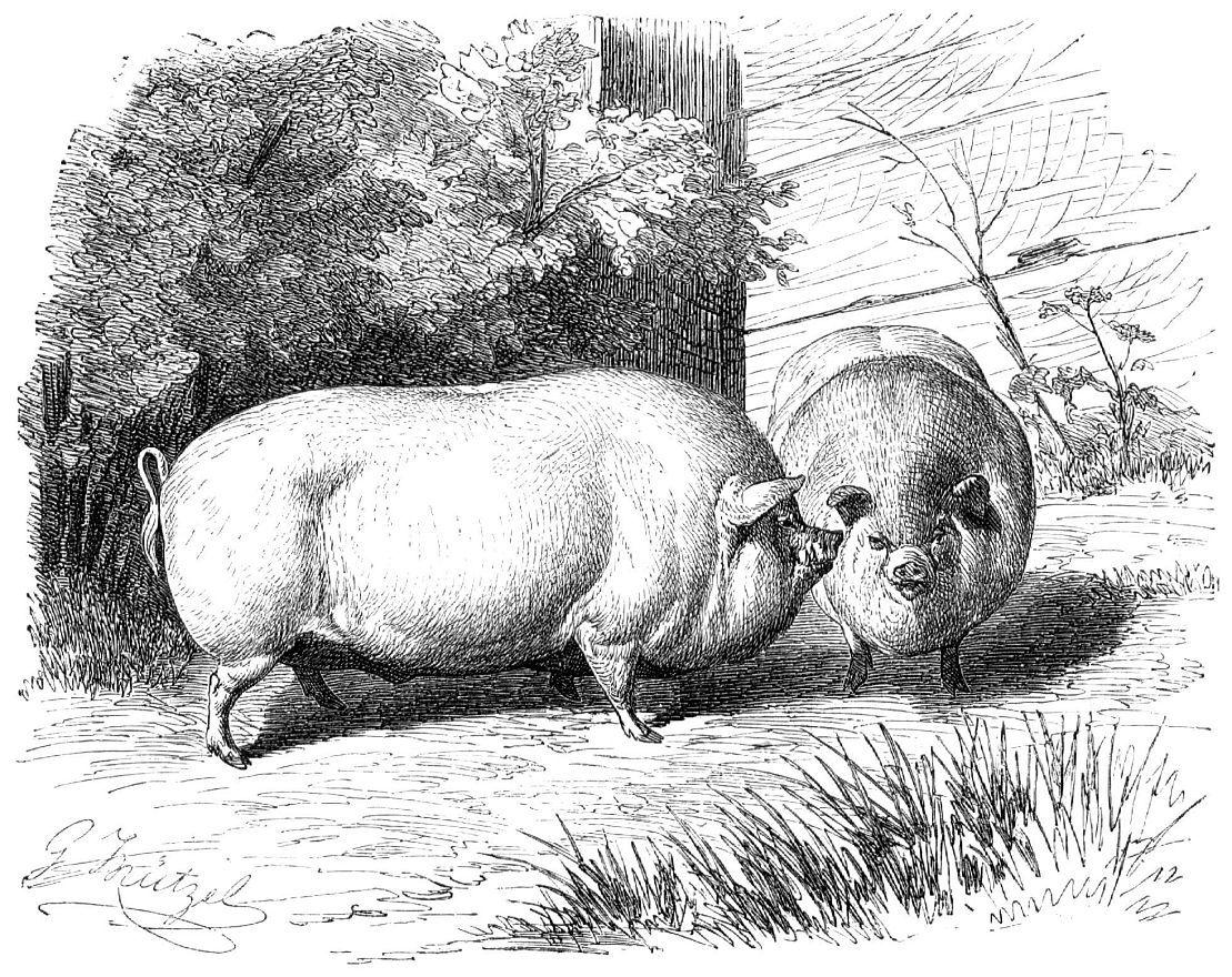 Домашняя свинья (Sits scrofa domesticus)