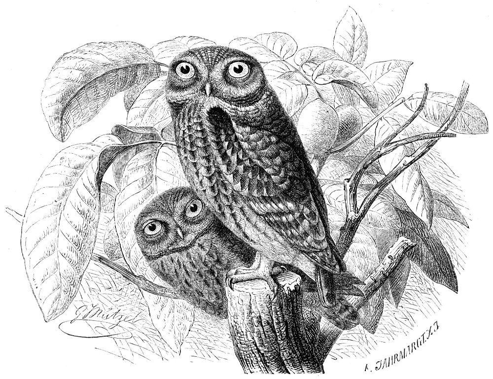 Домовый сыч (Athene noctua)